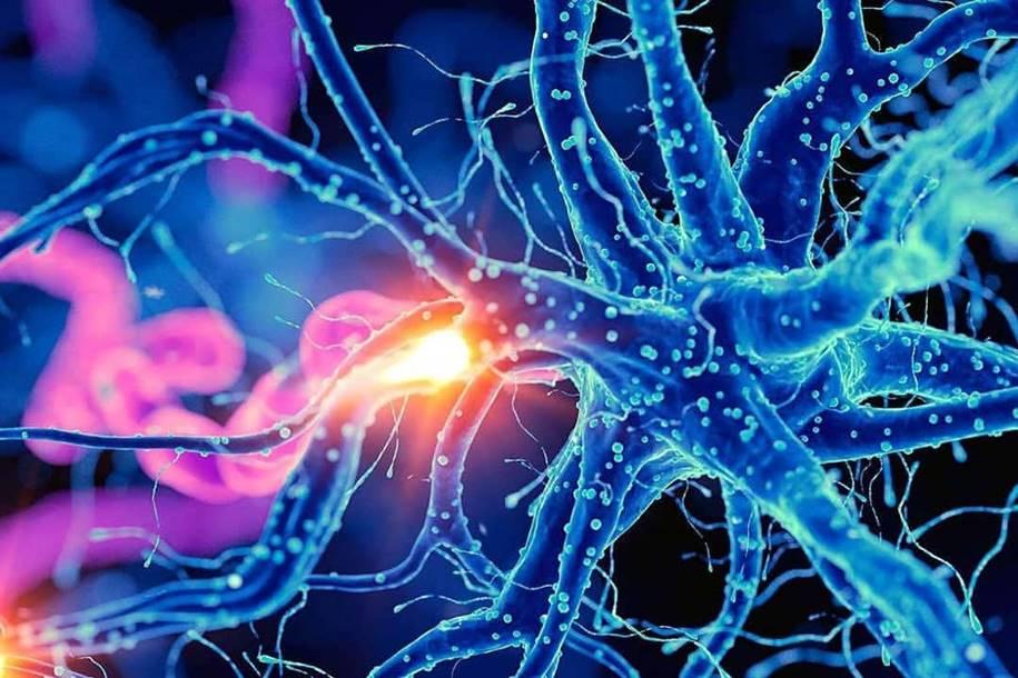 Novos neurônios se formam até 99 anos de idade