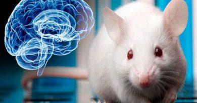Estudo mostra que o cerebelo do rato é bem diferente do humano