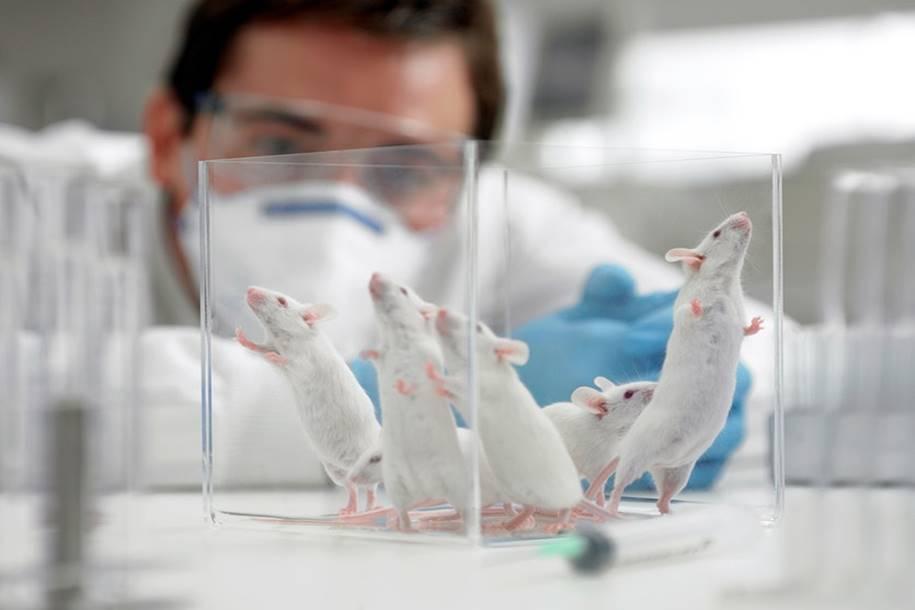 Estudo revela que o cerebelo do rato é bem diferente do humano