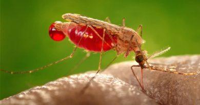 Mosquitos da malária são capazes de identificar os inseticidas