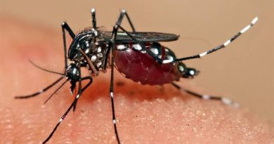 Desenvolvido mosquitos que impedem a transmissão do vírus da dengue