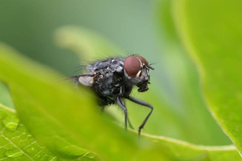 Genes em moscas da fruta pode ser a definitiva cura da perda auditiva